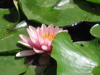 Seerose - Gartenteich, Teich, Wasser, Seerosen, Blumen, Pflanzen
