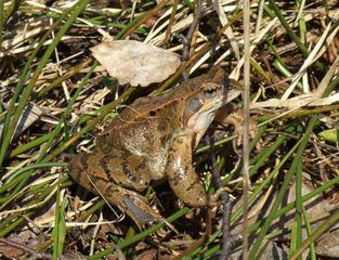 Frosch - Frosch, wechselwarme Tiere, Amphibie, wechselwarm, hüpfen, feucht, glitschig, erdfarben, Märchen, Feuchtraumgebiet, Teich, Umweltschutz