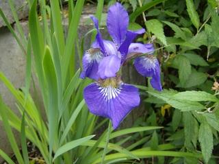 Schwertlilie - Schwertlilie, Iris, Blüte, Blume, Natur, Pflanze, mehrjährig, zwittrig, Blütenblätter, blau