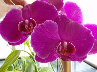 Orchidee - Orchidee, Orchideen, Blüte, Blüten, Blütenstand, Phalaenopsis