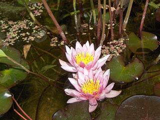 Seerosenblüten - Seerose, Blüte, Blüten, Teich, Pflanze, Natur, Wasser, Blätter, Garten, zwei