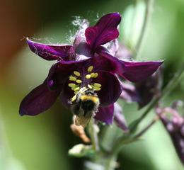 Akelei mit Hummel - Akelei, Hahnenfußgewächs, Staubblätter, Blüte, violett, gespornte Blütenblätter, Hummel