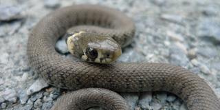 Ringelnatter #2 - Ringelnatter, Schlange, Kriechtier, Reptil, schlängeln, Natrix natrix