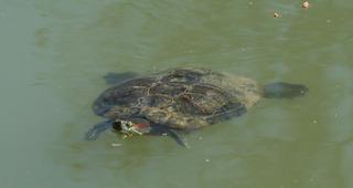 Schildkröte - Schildkröte, Landschildkröte, Reptil, Panzer, Schuppen, langsam, Keratin, Haustier, bedroht, Schildpatt, Artenschutz, Washingtoner Abkommen