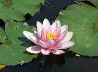 Seerose #1 - Seerose, Seerosen, Wasserpflanze, Teich, Gewässer, Blüte, Wasserpflanze, Schwimmblätter