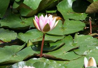 Seerose #3 - Seerose, Seerosen, Wasserpflanze, Teich, Gewässer, Blüte, Wasserpflanze, Schwimmblätter