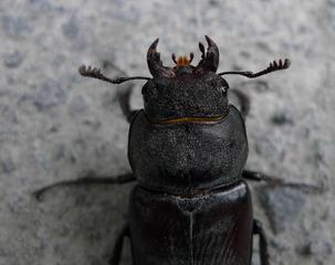 Hirschkäferkopf - Hirschkäfer, Hornschröter, Feuerschröter, Donnergugi, Nahaufnahme, Käfer, Schröter