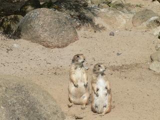 Zwei Präriehunde - Präriehund, zwei, Raubtier