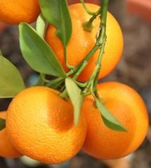 Mandarinen - Zitrusgewächse, Zitrusfrüchte, Mandarine, Rautengewächs, Frucht, orange, Hesperidien
