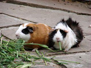 Meerschweinchen - Meerschweinchen, Haustier, Nagetier, klein, Pflanzenfresser, Vegetarier, fressen, bunt, zwei