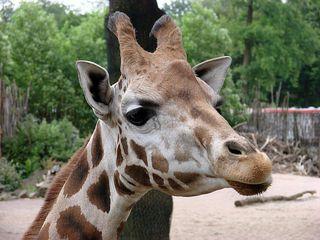 Giraffenkopf #1 - Giraffe, Paarhufer, Säugetier, Wiederkäuer, Afrika, Savanne, Hals, groß, lang, gefleckt