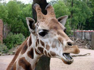 Giraffenkopf #2 - Giraffe, Paarhufer, Säugetier, Wiederkäuer, Afrika, Savanne, Hals, groß, lang, gefleckt