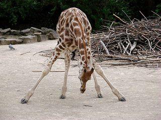 Giraffenspagat - Giraffe, Paarhufer, Säugetier, Wiederkäuer, Afrika, Savanne, Hals, groß, lang, gefleckt