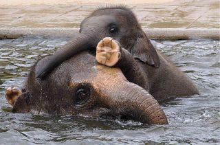 Junger Elefant - Elefant, Säugetier, Jungtier, Rüsseltier, Wiederkäuer, Pflanzenfresser, Asien, Rüssel, baden, Schreibanlass