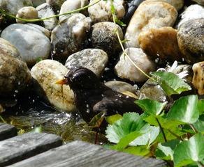 Badende Amsel - Amsel, Vogel, Teich, Bad, baden, Vogelbad