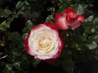 Rose - Rose, Schnittblume, Knospe, Rosengewächs, Naturform, Draufsicht, Rosenblüte, Schnittblume, Blüte