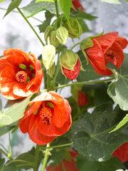 Abutilon (Schönmalve) - Garten, Kübelpflanze, blühen, Blüte, rot, Schönmalve, Malvengewächs, Zierpflanze