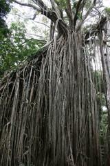 Würgefeige - Regenwald, Würgefeige, Aufsitzerpflanze, Schmarotzer, Laufwurzeln, Wurzeln, Wirtsbaum, Ficus