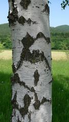 Birkenstamm - Baum, Bäume, Birke, Birken, Baumstamm, Rinde, Stamm, Borke, Birkenleder
