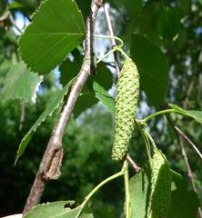 Birkensamen - Baum, Bäume, Birke, Birken, Samen, Birkengewächs, Pionierpflanze, Blüten, Blütenkätzchen