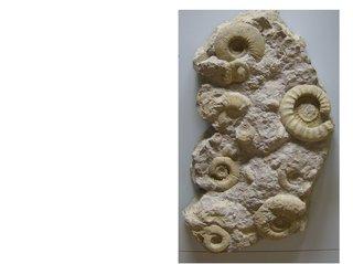 Fossilien - Fossilien, Fossil, Ammonit, Versteinerung, abgestorben, Organismus, Fossilisationslehre, Evolution, Erdgeschichte, Erdmittelzeit, Paläontologie