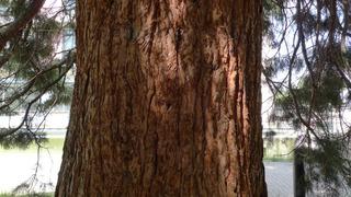 Sequoia - Sequoia, Mammutbaum, kiefernartig, Zypressengewächs, Pyrophyten, hoch, immergrün