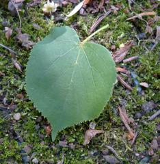 Lindenblatt - Laubbaum, Linde, Blatt, Winterlinde, gesägt, herzförmig, Wald, Bienenweide