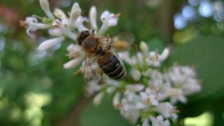 Honigbiene - Liguster, Blüte, Biene, Honigbiene