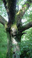 Baum(gesicht) - Baum, Märchen, Fantasy, Gesicht, skurril, Schreibanlass, Ausformung, Baumstamm, optische Phänomene, visuelle Wahrnehmung