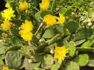 Opuntien #1 - Opuntien, Kakteengewächs, Blüte, gelb, radiärsymmetrisch, Staubblätter, Griffel