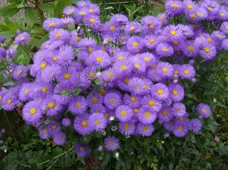 Feinstrahlaster #1 - Feinstrahlaster, Aster, Korbblütler, Erigeron, Schnittblume