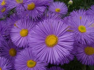Feinstrahlaster #2 - Feinstrahlaster, Aster, Korbblütler, Erigeron, Schnittblume