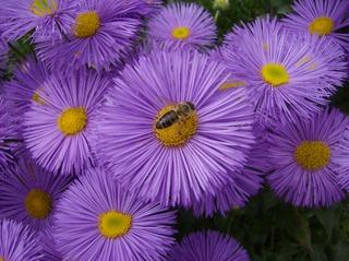 Feinstrahlaster #3 - Feinstrahlaster, Aster, Korbblütler, Erigeron, Schnittblume, Biene