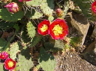 Opuntien - Opuntien, Kakteengewächs, Blüte, rot, radiärsymmetrisch, Staubblätter, Griffel