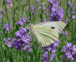 Großer Kohlweißling   #2 - Falter, Schmetterling, Kohlweißling, Tagfalter, Pieris brassicae