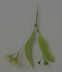 Lindenblüte - Laubbaum, Linde, Blüte, Sommerlinde, Heilpflanze, Stempel, Staubgefäße, Fruchtstand