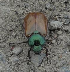 Gartenlaubkäfer #2 - Käfer, Gartenlaubkäfer, Blatthornkäfer, tagaktiv