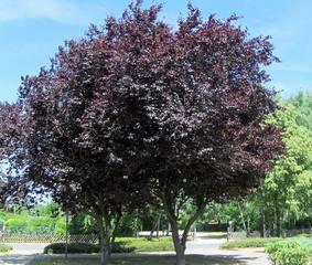Blutbuche - Buche, Blutbuche, Purpurbuche, Baum, Bäume, Laubbaum, Gehölz, Blätter, Krone, rot, Laub, Stamm