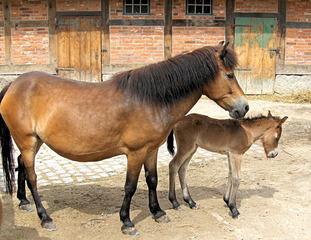 Pferd und Fohlen - Pferd, Fohlen, Mutter, Kind, Haustier, reiten, Säugetier, Mähne, Huftier, Junges, Pflanzenfresser