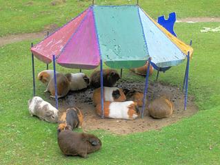 Meerschweinchen im Zoo  - Meerschweinchen, Nagetier, Hausmeerschweinchen, Südamerika, Pflanzenfresser, Gras, Schreibanlass, Haustier, Nagetier, klein, Vegetarier, fressen, bunt