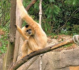 Schopfgibbon im Zoo - Affe, Affen, Menschenaffe, Asien, China, Arme, klettern, lang, Fell, Säugetier