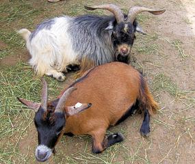 Ziegen im Zoo - Hausziege, Ziege, Haustier, Hornträger, Paarhufer, Zicke, Geiß, Bock, Geißbock, Hörner, schwarz, weiß, braun, Fell, zwei, Säugetier, Pflanzenfresser