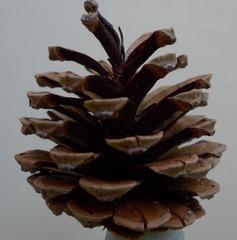 Kieferzapfen - Kiefer, Nadelholz, immergrün, Kieferngewächse, Pinaceae, Nadelbaum, Zapfen, Pockerl, Bockerl