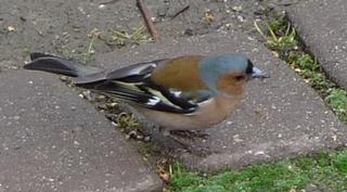 Buchfink - Vogel, Fink, Buchfink, Singvogel, Männchen, Edelfink