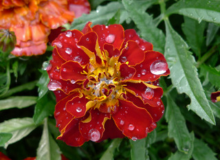 Tagetes - Asteraceae, Tagetes patula, Farbstoff, Färbepflanze, Tropfen, Oberflächenspannung