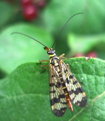 Gemeine Skorpionsfliege - Skorpionsfliege, Sechsfüßer, Schnabelfliege, Fühler, Flügel, Gemeine Skorpionsfliege, Panorpa communis