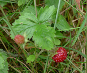 Walderdbeere - Erdbeere, Blütenpflanze, Blüte, Frucht, Sammelnussfrucht, fragaria ananassa, Rosengewächs, Walderdbeere