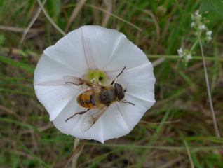 Ackerwinde - Blüten, Blüte, weiß, Nachtschattengewächs, Weg, Wiese, Heilpflanze, Bienenwirt, Bienenpflanze, Trichterblüte, Schwebfliege, Convolvulus arvensis, Convolvulaceae, Windengewächse