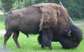 Bison - Amerikanischer Bison, bison bison, Bulle, Büffel, Indianerbüffel, Säugetier, Pflanzenfresser