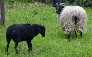 schwarzes Schaf - Schaf, schwarz, Schaf, Wiederkäuer, Hornträger, Jungtier
